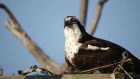 Falco pescatore in nido archivi video