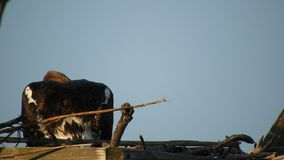 Falco pescatore in nido stock footage