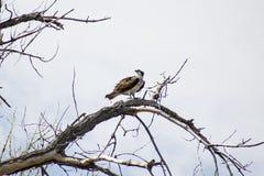 Falco pescatore su un ramo immagini stock libere da diritti