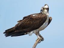 Falco pescatore sul ramo di albero Immagine Stock Libera da Diritti