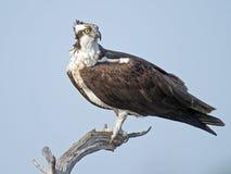 Falco pescatore sul ramo di albero Immagine Stock