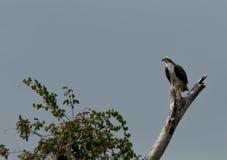 Falco pescatore sull'allerta Immagini Stock Libere da Diritti