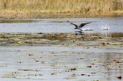 Falco pescatore sulla caccia fotografie stock libere da diritti