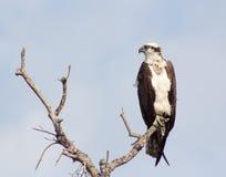 Falco pescatore sulla pertica Fotografia Stock Libera da Diritti