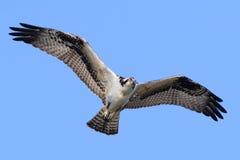 Falco pescatore in volo Fotografie Stock Libere da Diritti