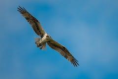 Falco pescatore in volo Fotografia Stock