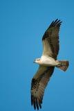 Falco pescatore in volo Immagini Stock Libere da Diritti