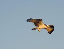 Falco pescatore in volo fotografie stock