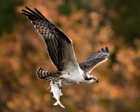 Falco pescatore in volo con il fermo XII fotografie stock