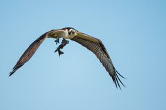 Falco pescatore in volo con il suo fermo Immagine Stock Libera da Diritti