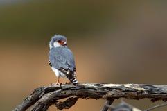 Falco pigmeo Immagini Stock Libere da Diritti