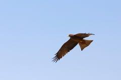 Falco predatore volante dell'uccello, okavango, Botswana Fotografie Stock