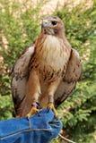Falco preparato che si siede sul guanto del falconiere fotografia stock