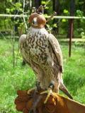 Falco prima di caccia di sport Immagini Stock Libere da Diritti