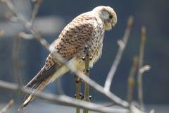 Falco. Primo piano di un falco su un ramo royalty free stock image