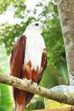 Falco rosso. Immagini Stock