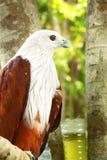 Falco rosso. Fotografia Stock