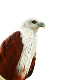 Falco rosso. Fotografie Stock Libere da Diritti