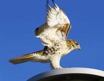 Falco rosso della coda Fotografia Stock