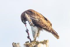 Falco rosso della coda Fotografia Stock Libera da Diritti