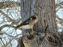 Falco rosso della coda Immagine Stock
