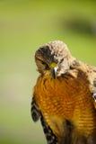 Falco rosso della spalla Fotografia Stock