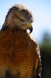 Falco rosso della spalla Immagini Stock Libere da Diritti