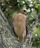 Falco Rosso-Messo Fotografia Stock