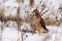 Falco Rosso-Munito Immagini Stock Libere da Diritti