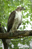 falco Rosso-munito immagine stock