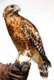 falco Rosso-munito Fotografie Stock Libere da Diritti
