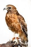 falco Rosso-munito Fotografie Stock