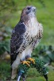 Falco Rosso-munito americano immagini stock libere da diritti