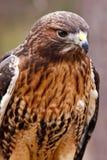 falco Rosso-munito con belle piume Fotografia Stock