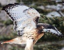 falco Rosso-munito con la diffusione delle ali Fotografia Stock