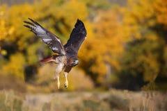 falco Rosso-munito durante il volo Fotografia Stock
