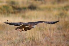 falco Rosso-munito durante il volo Fotografie Stock