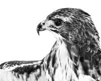 Falco Rosso-munito II fotografia stock