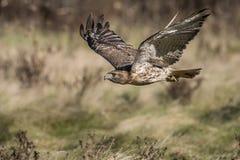falco Rosso-munito (jamaicensis del buteo) Fotografia Stock