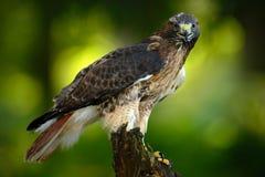 falco Rosso-munito, jamaicensis del Buteo, ritratto della rapace con la fattura aperta con l'habitat vago nel fondo, foresta verd Fotografie Stock
