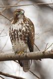 Falco Rosso-munito orientale Fotografia Stock Libera da Diritti
