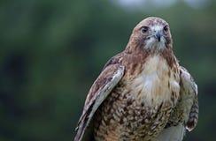 falco Rosso-munito Testa preso Immagine Stock