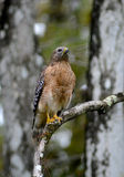 Falco rosso orientale della spalla Immagine Stock