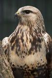 Falco Rough-legged Fotografie Stock Libere da Diritti