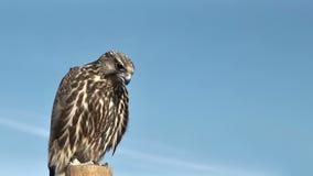 Falco Rusticolus Gyrfalcon видеоматериал