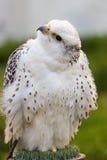 Falco rusticolus Stock Photos