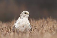 Falco rusticolus Rozszerzający w państwach arabskich obraz stock