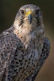 Falco saker/di straniero Fotografie Stock Libere da Diritti