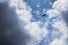 Falco selvaggio Fotografia Stock