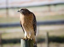 Falco selvaggio sull'alberino della rete fissa Immagini Stock